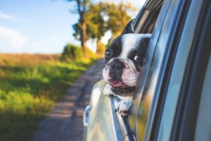 Dog in a car, a way to move with your pet