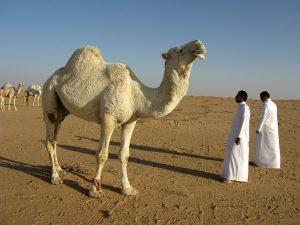 Desert and a camel.