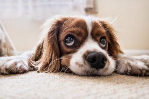 Depressed dog.