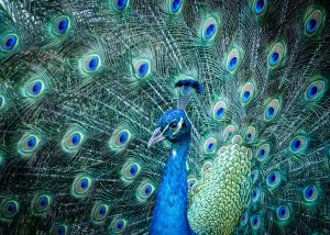 A peacock inside the zoo. Davie is certainly one of the booming Florida places young couples adore.